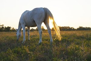 White horse grazing on the meadow at sunset. Horse is eating green grass in the field. Close up