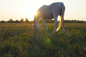 Horse grazing on the meadow at sunrise. Horse is walking and eating green grass in the field. Close up. Beautiful background