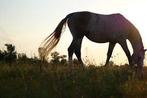 Horse grazing on the meadow at sunrise. Horse is eating green grass in the field. Close up