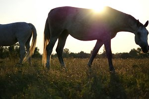 Two white horses grazing on the meadow at sunrise. Horses is eating green grass in the field. Close up.