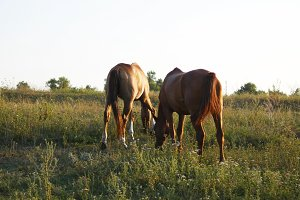 Two horses grazing on the meadow. Horses are eating green grass in the field. Close-up. Rear back view