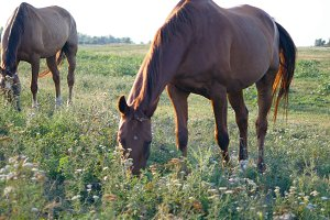 Two horses grazing on the meadow. Horses are eating green grass in the field. Close-up