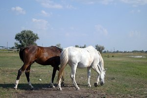 Two horses grazing on the meadow. White and brown horses are walking and eating green grass in the field. Close-up