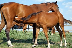 Small foal drink some milk from his mother. Baby colt suck milk from mother horse on green hill. A mare patiently suckles her pony. Close-up.