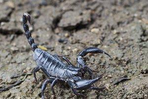 Image of scorpion.