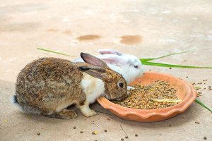 rabbits eating diet pill in farm
