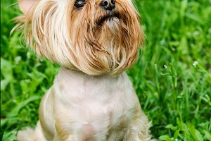 Yorkshire Terrier Dog on green grass
