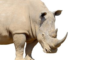 Rhino on white
