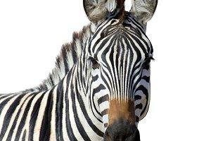 Zebra in whine