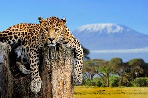 Leopard on Kilimanjaro background