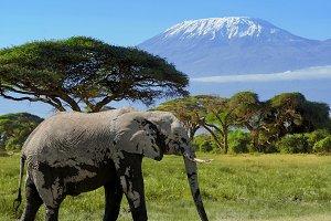 Elephant on Kilimanjaro background