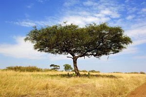 Landscape with acacia tree