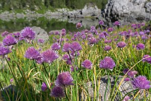 Flowers by mountain lake