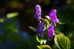 Purple flowers in the mountains