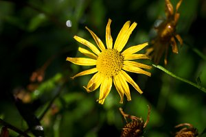 Yellow daisy in the mountains