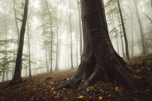 Autumn beech tree forest with fog