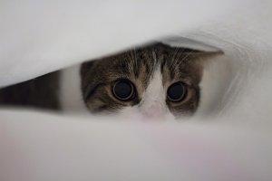 Cat under bed sheets