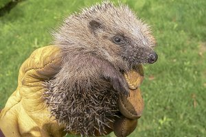 Little hedgehog (Erinaceus europaeus)