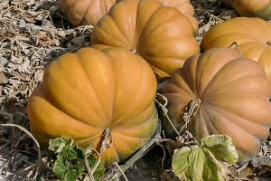 Pumpkins growing in the orchard