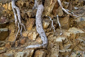 Bare roots of maritime pine