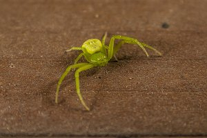 Green spider micrommata virescens