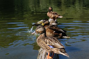 Ducks on log