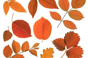autumn red leaf
