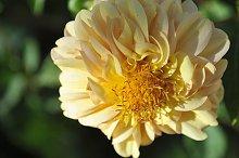 golden stamens yellow dahlia