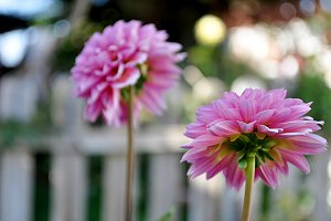 two back pink dahlias