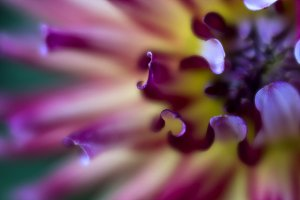 Purple, Pink and Yellow Dahlia