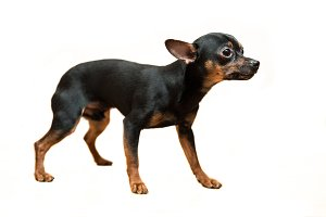 Toy terrier dog standing isolated