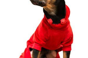 Toy terrier dog sitting isolated