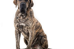 Big dog sitting isolated on white