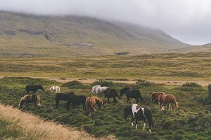 Icelandic Horses in Autumn Landscape