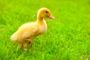 cute yellow duck on green grass
