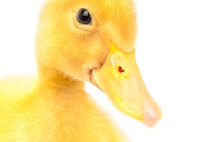 muzzle duckling isolated