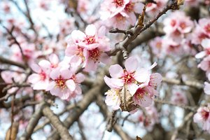 The almond tree pink flowers
