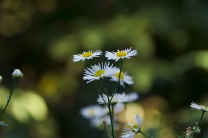 Daisies in the forest close up