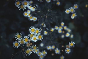 Daisies on dark background