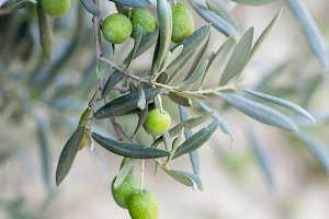 Olive in branches