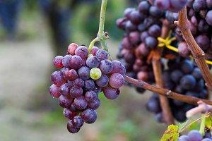 Mediterranean grapes on vineyard.