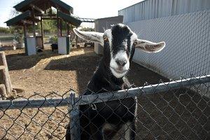 Curious Goat Portrait