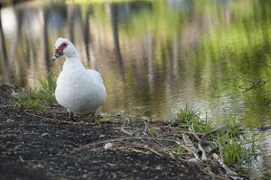 White duck on black sand in Hawaii