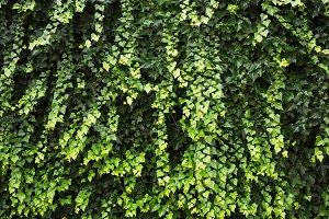 Ivy plants texture