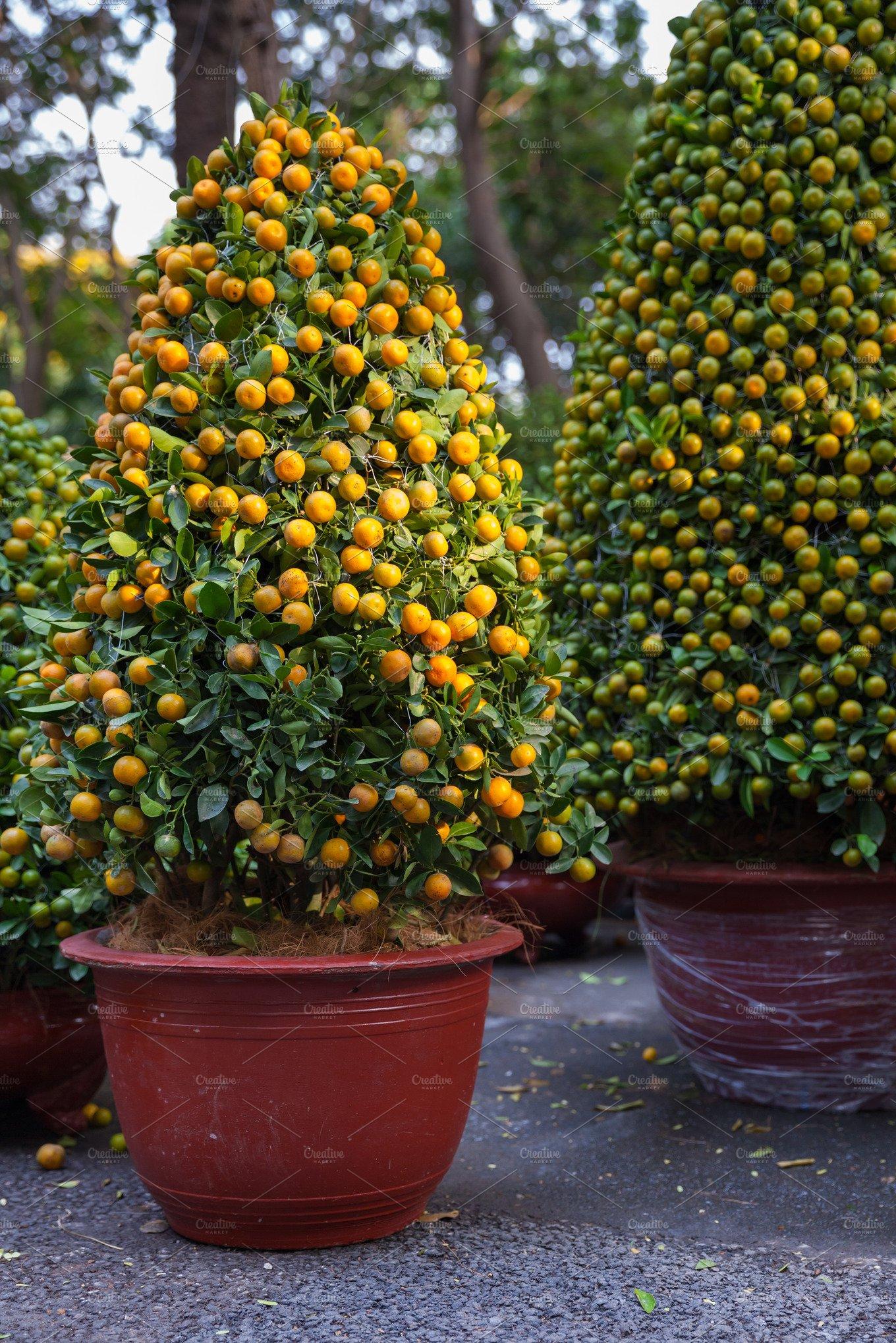 Tet kumquat trees vietnam holiday photos creative market for Plante kumquat