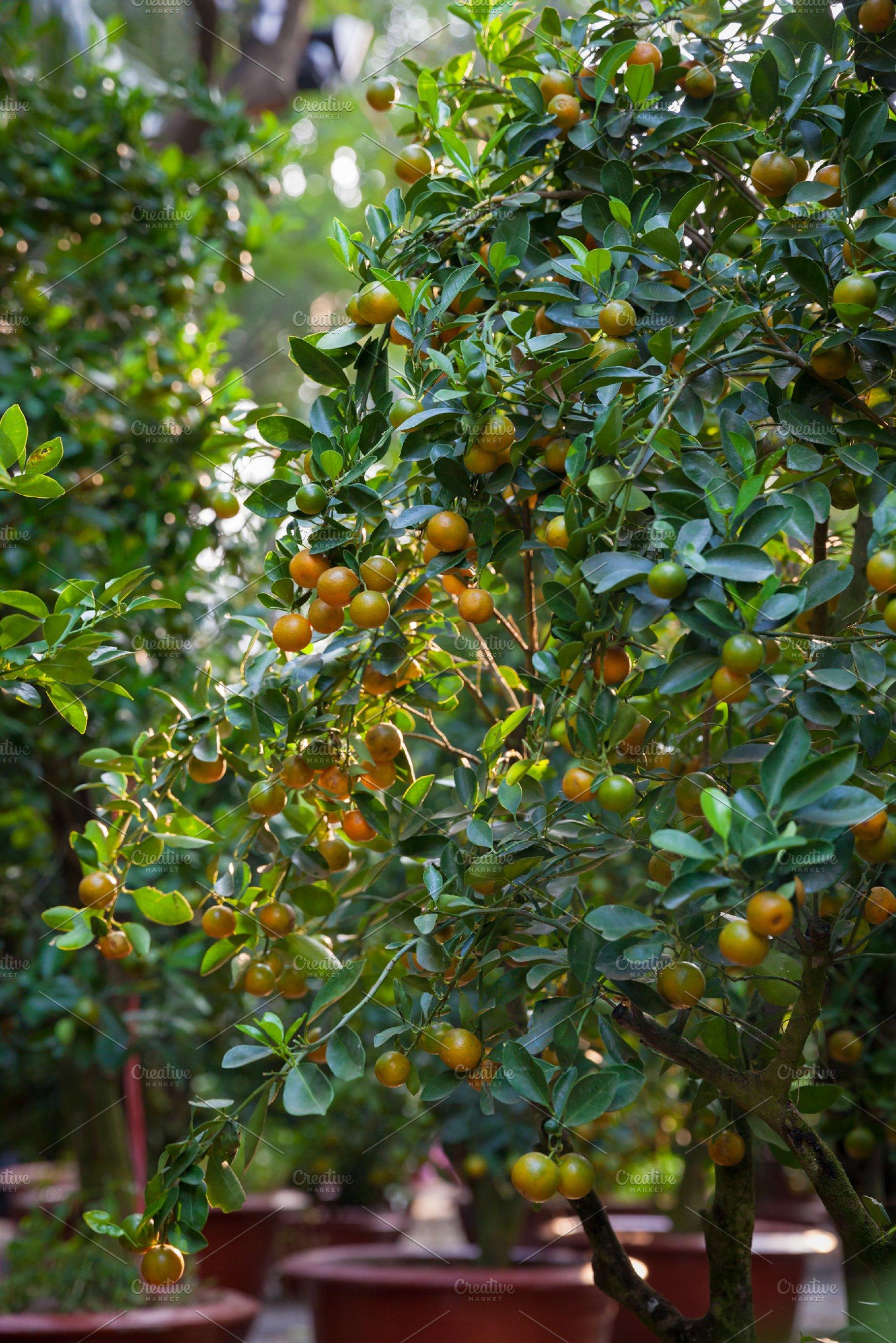 Kumquat Trees, Vietnam