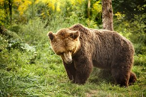 Wild Big Brown bear