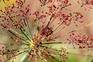 Insect on a dill