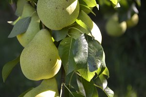 Pears on a tree branch closeup in orchard