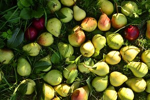 many pears lie on the grass